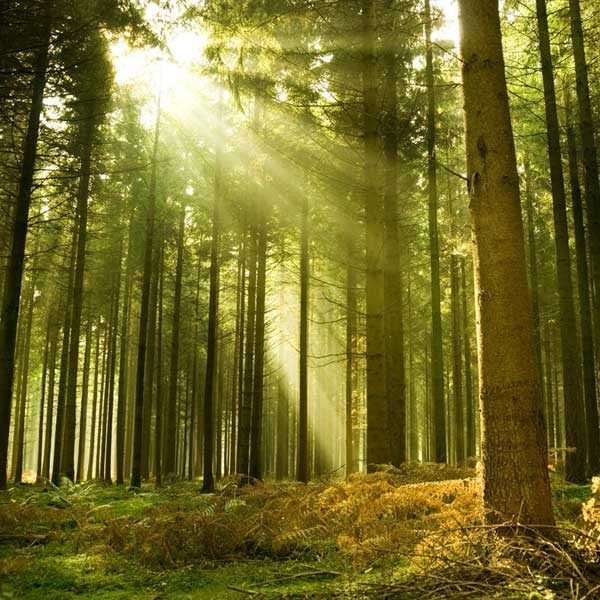 Sunlight-Through-Trees-Wall-Mural-XLWS0060-close-up